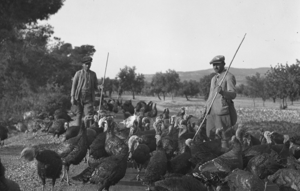 Turkeys being herded in Corinth, 1930. Weld must have seen a scene like this one. Source: ASCSA, Archives, Homer A. Thompson Papers